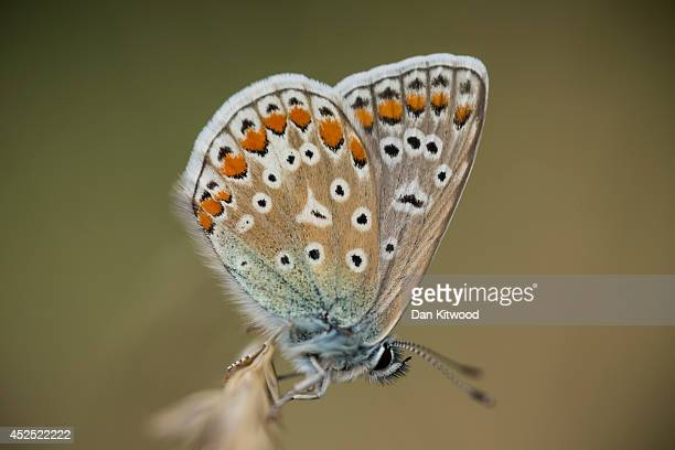 An Adonis Blue Butterfly rests in the long grass in Ladywell Park on July 21 2014 in London England Many insects can be seen emerging during the...