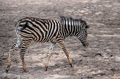 An adorable baby Zebra walking.
