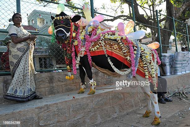 An adorned cow takes part in 'Sankranti' festival celebrations as it stands beside its owner in Bangalore on January 15 2013 Sankranti the Hindu...
