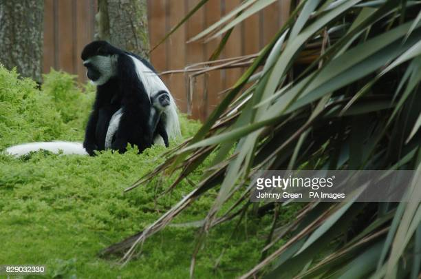 An adult Colobus monkey cradles its young at Dublin Zoo Dublin Ireland The baby monkey which was born in March is as yet unnamed and unsexed Colobus...