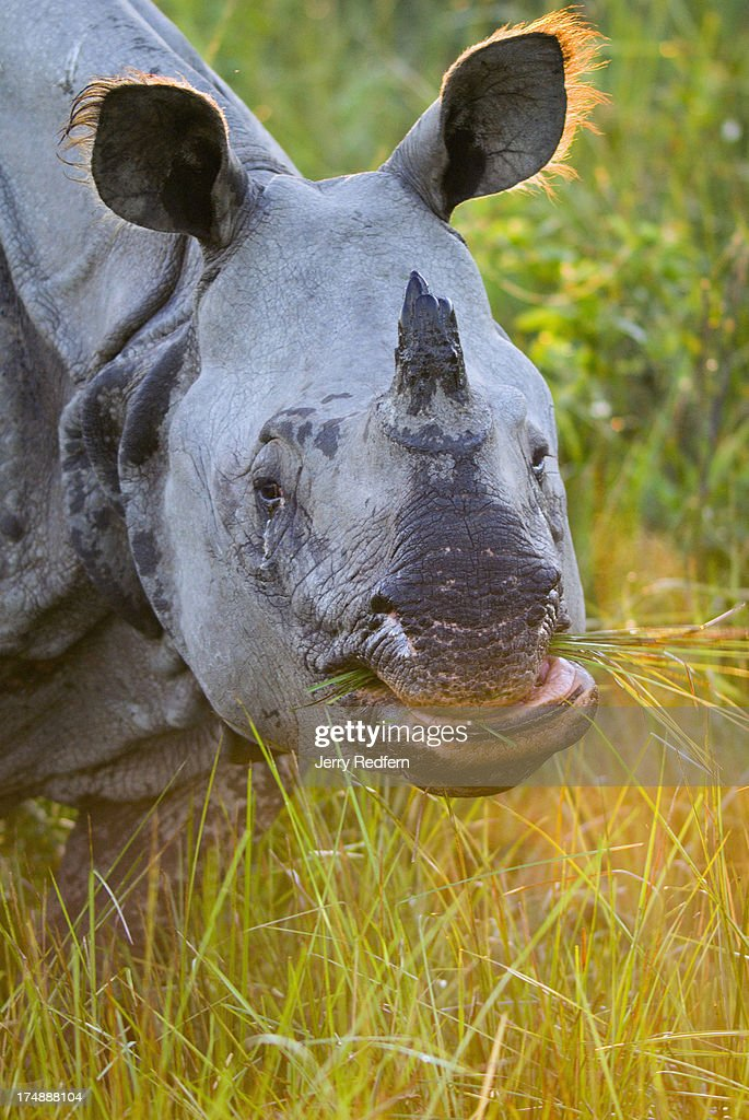 An adult female Great Onehorned Rhinoceros feeds on elephant grass in Kaziranga National Park The rhino is an endangered species as noted on the IUCN...
