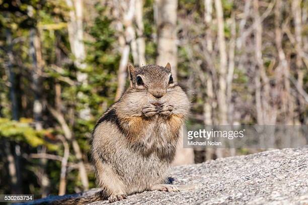 An adult golden-mantled ground squirrel (Callospermophilus lateralis) feeding in Rocky Mountain National Park, Colorado, United States of America, North America
