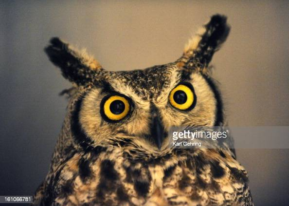 FE15CSCOVER An adult Great Horned Owl was found stuck in an irrigation pipe after the Windsor tornado ripped through Weld County three weeks ago The...