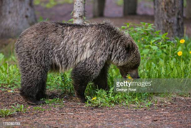 An adult grizzly bear walks through a nearby campground and picnic area on June 27 2013 in Lake Louise Alberta Canada Major flooding along the Bow...