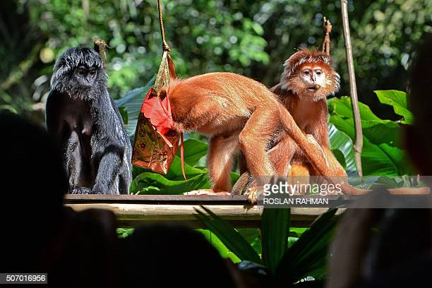 An adult Javan langur looks for food in a pouch of treats ahead of the Lunar New Year of the monkey during feeding time at the Wildlife Reserves...