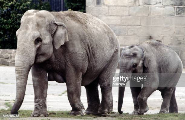 An adult mother and baby elephant walking out togetherat a zoo in England Circa 1980