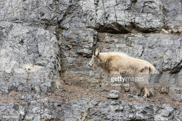 An adult Mountain Goat, oreamnos americanus, in British Columbia, Canada