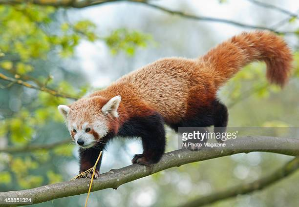 An adult red panda climbing a tree branch at Cotswold Wildlife Park in Oxfordshire taken on May 8 2012