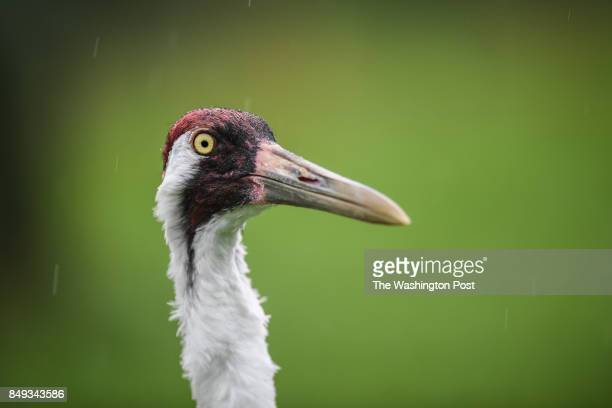 An adult Whooping Crane bird is photographed at the USGS Patuxent Wildlife Research Center on Tuesday August 29 in Laurel MD