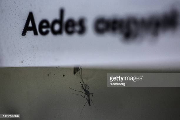 An Aedes aegypti mosquito infected with Wolbachia bacteria is seen at the Oswaldo Cruz Foundation in Rio de Janeiro Brazil on Friday Feb 19 2016...