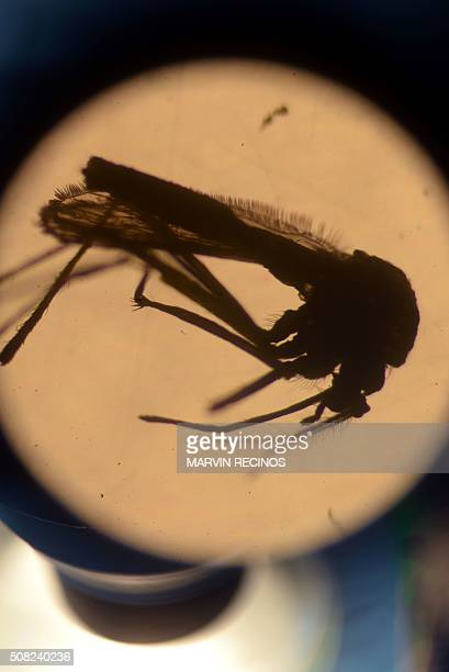 An Aedes aegypti mosquito is photographed in a laboratory at the University of El Salvador in San Salvador on February 3 2016 Health authorities...