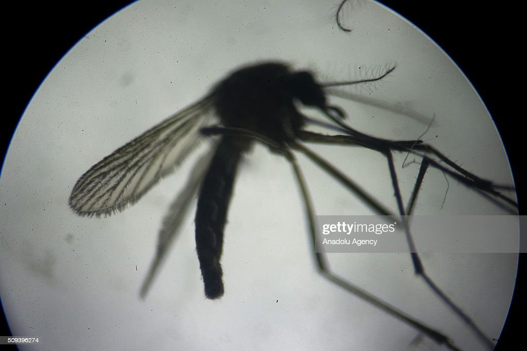 An aedes aegypti mosquitoes that carries the Zika virus is seen at a laboratory of the National Center for the Control of Tropical Diseases (CENCET) in Santo Domingo, Dominican Republic on February 10, 2016.