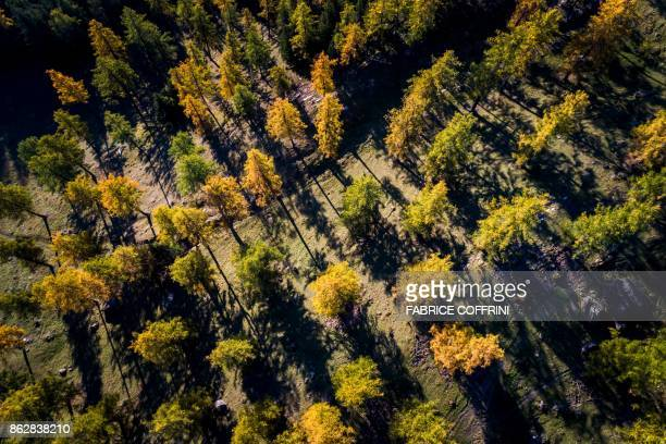 An aerial view taken on October 18 2017 shows European larch trees in autumn colours in a forest near Cries in the Swiss Alps PHOTO / Fabrice COFFRINI
