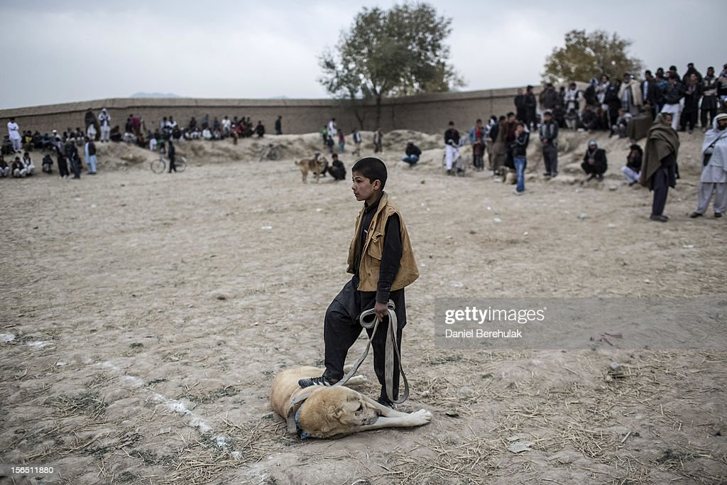 An Afghan boy rubs his fighting mastiff dog with his foot prior to his fight during the weekly dog fights on November 16, 2012 in Kabul, Afghanistan. Dog fighting was banned under the Taliban for being un-Islamic but it is now common practice.
