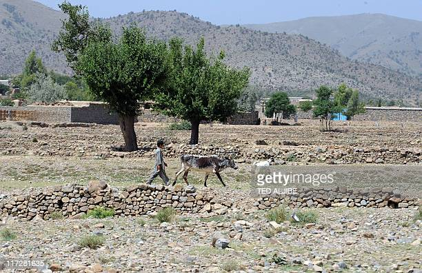 An Afghan boy walks with his family cow at a village in Sabari district in eastern Khost province on June 19 2011 AFP PHOTO/TED ALJIBE