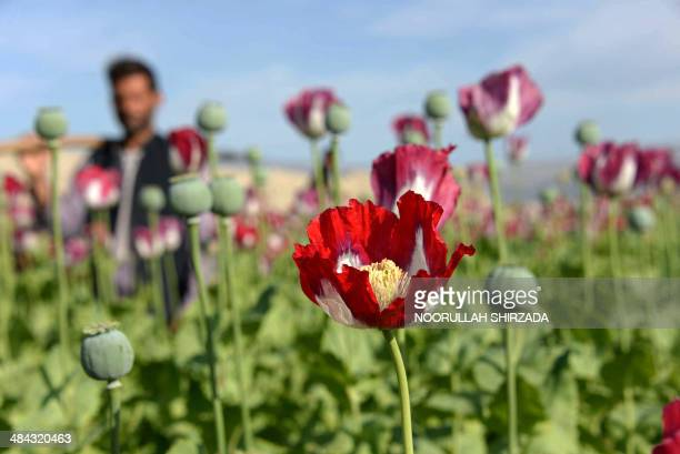 An Afghan farmer stand in a blooming poppy field on the outskirts of Jalalabad in Nangarhar province on April 12 2014 AFP PHOTO / Noorullah SHIRZADA