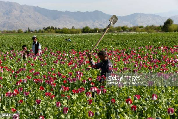 An Afghan farmer walks through a poppy field on the outskirts of Jalalabad capital of Nangarhar province on April 12 2014 Citing the United Nations...
