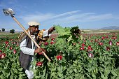 An Afghan farmer works in a poppy field on the outskirts of Jalalabad capital of Nangarhar province on April 12 2014 Citing the United Nations Office...
