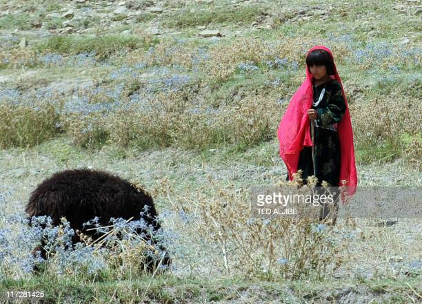 An Afghan girl watches her family's sheep at a village field in Sabari district in eastern Khost province on June 24 2011 AFP PHOTO/TED ALJIBE