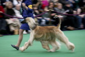 An Afghan Hound competes during the 137th Westminster Kennel Club Dog Show on February 11 2013 in New York City A total of 2721 dogs from 187 breeds...
