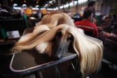 An Afghan Hound lays on a grooming table during the fourth and final day of Crufts at the Birmingham NEC Arena on March 11 2012 in Birmingham England...