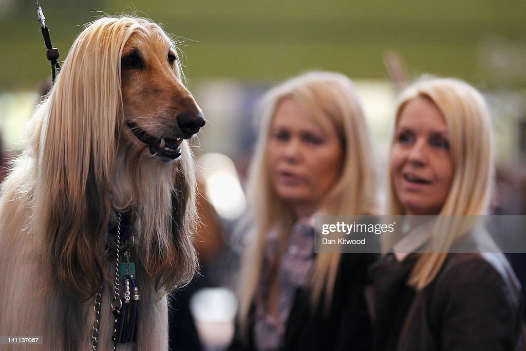 An Afghan Hound stands on a grooming table during the fourth and final day of Crufts at the Birmingham NEC Arena on March 11, 2012 in Birmingham, England. During the annual four-day competition nearly 22,000 dogs and their owners will compete for a variety of accolades, ultimately seeking the coveted title of 'Best In Show'.
