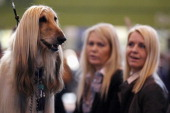An Afghan Hound stands on a grooming table during the fourth and final day of Crufts at the Birmingham NEC Arena on March 11 2012 in Birmingham...