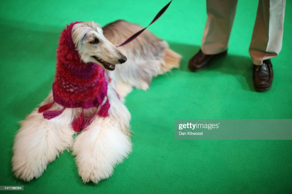 An Afghan Hound waits to be judged in the ring during the fourth and final day of Crufts at the Birmingham NEC Arena on March 11, 2012 in Birmingham, England. During the annual four-day competition nearly 22,000 dogs and their owners will compete for a variety of accolades, ultimately seeking the coveted title of 'Best In Show'.