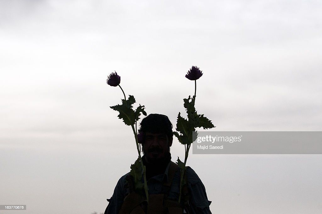 An Afghan policeman decotates himself with opium plants as they destroy the crop, on a farm on March 14, 2013, in Babaji village-Helmand Province ,south east Afghanistan. Most of the opium is chemically processed to produce herion, which ends up heading to either Iran, Russia and/or Europe. According to United Nations report, in 2012 there was an increase of 18 percent in cultivation of opium in Afghanistan; the world's largest source of the crop.