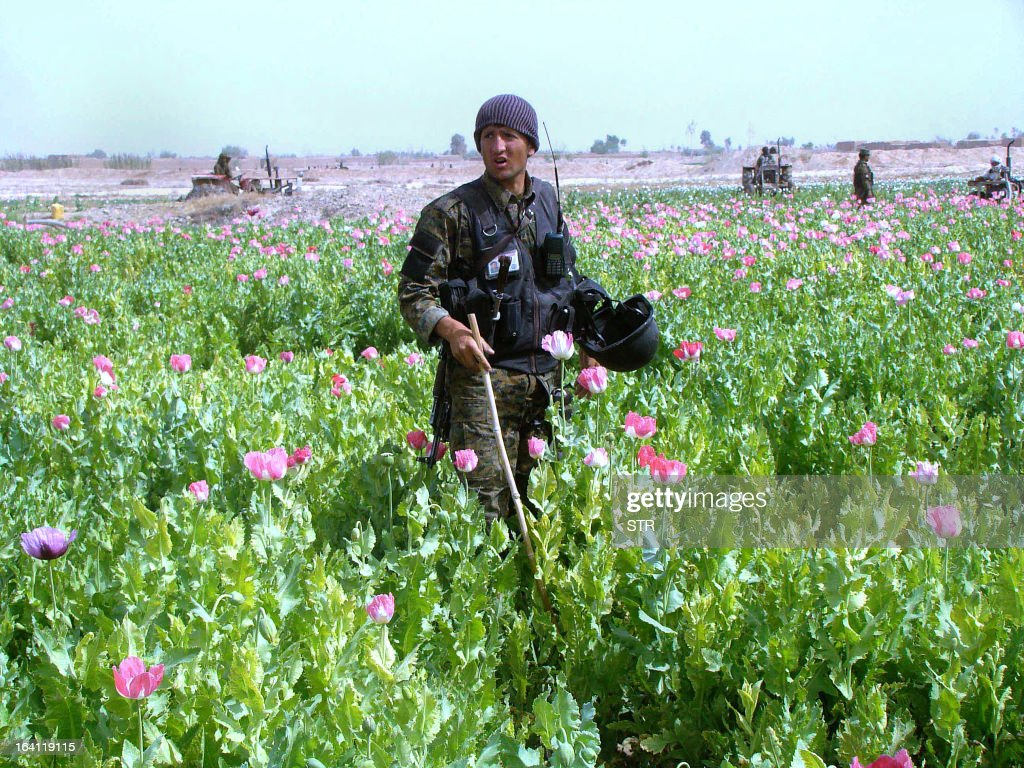 An Afghan policeman destroys a poppy field in the Nad-e Ali district of Helmand province on March 20, 2013. Poppy cultivation is expected to increase in both eastern and western provinces of the country, though will remain at a much lower level of cultivation as compared to Helmand and Kandahar provinces, the United Nations office on Drugs and Crimes (UNODC) said in its 2012 report.