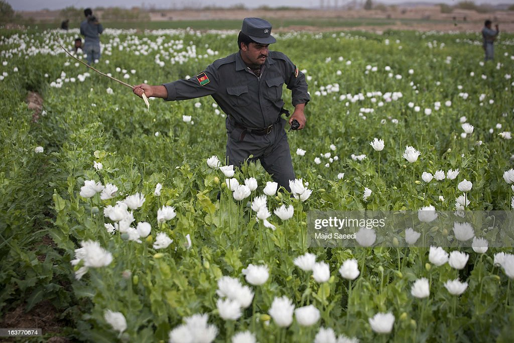 An Afghan policeman swipes at opium plants as they tackle the crop on a farm on March 14, 2013, in Babaji village-Helmand Province ,south east Afghanistan. Most of the opium is chemically processed to produce herion, which ends up heading to either Iran, Russia and/or Europe. According to United Nations report, in 2012 there was an increase of 18 percent in cultivation of opium in Afghanistan; the world's largest source of the crop.