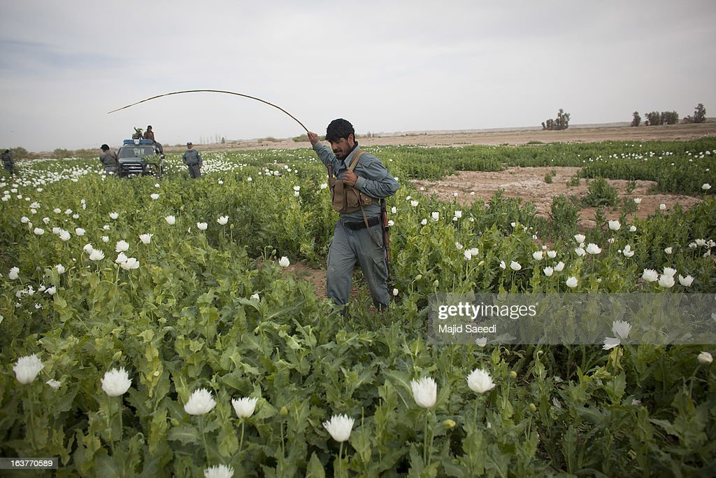 An Afghan policeman swipes at opium plants with a cane as they tackle the crop on a farm on March 14, 2013, in Babaji village-Helmand Province ,south east Afghanistan. Most of the opium is chemically processed to produce herion, which ends up heading to either Iran, Russia and/or Europe. According to United Nations report, in 2012 there was an increase of 18 percent in cultivation of opium in Afghanistan; the world's largest source of the crop.