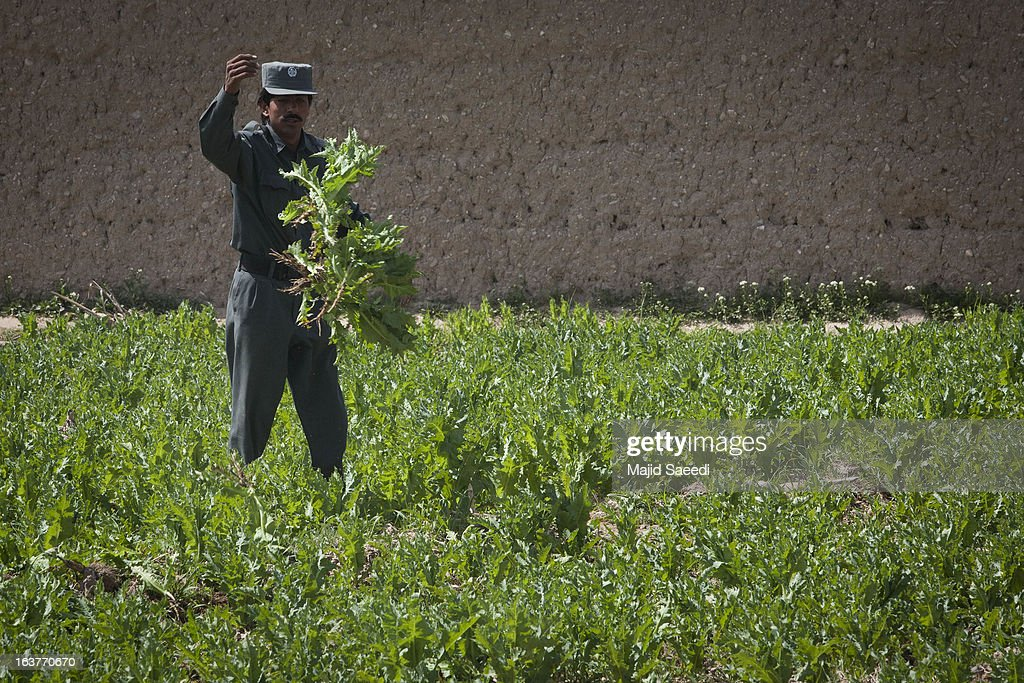 An Afghan policeman unearths opium plants as they destroy the crop, on a farm on March 14, 2013, in Babaji village-Helmand Province ,south east Afghanistan. Most of the opium is chemically processed to produce herion, which ends up heading to either Iran, Russia and/or Europe. According to United Nations report, in 2012 there was an increase of 18 percent in cultivation of opium in Afghanistan; the world's largest source of the crop.