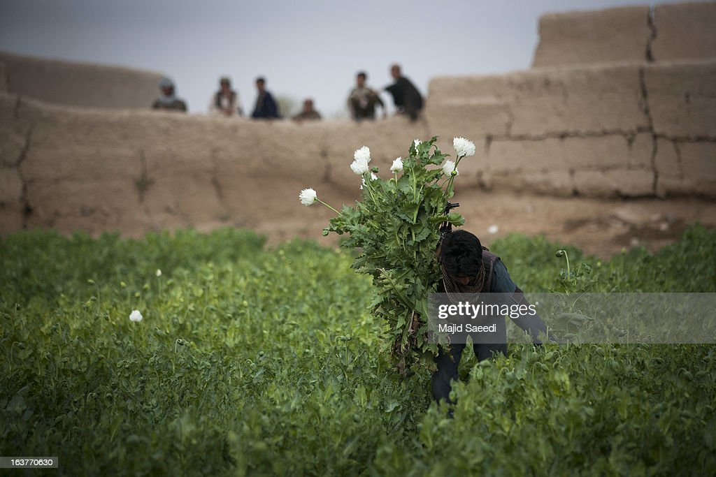 An Afghan policeman uproots opium plants as they destroy the crop, on a farm on March 14, 2013, in Babaji village-Helmand Province ,south east Afghanistan. Most of the opium is chemically processed to produce herion, which ends up heading to either Iran, Russia and/or Europe. According to United Nations report, in 2012 there was an increase of 18 percent in cultivation of opium in Afghanistan; the world's largest source of the crop.