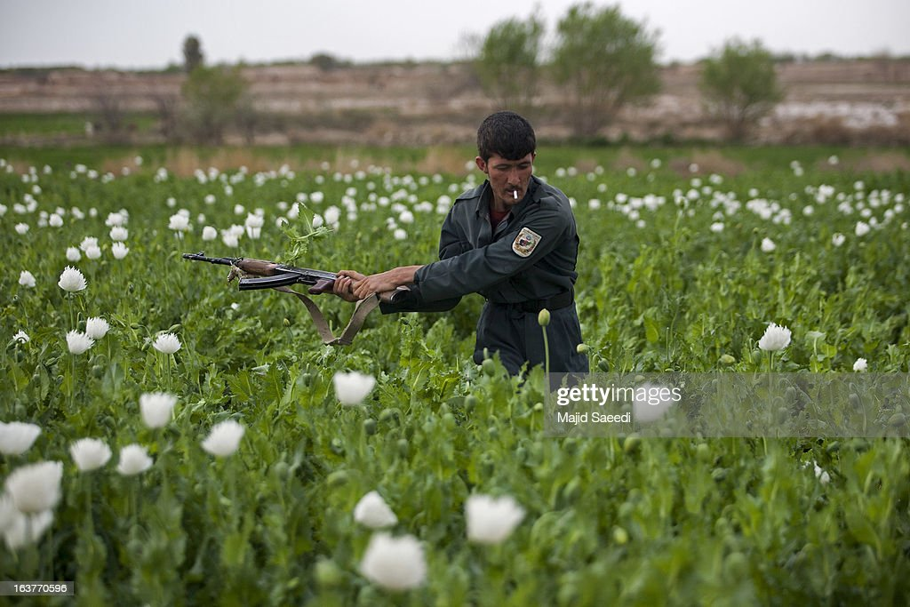 An Afghan policeman uses his gun to swipe at opium plants as they tackle the crop on a farm on March 14, 2013, in Babaji village-Helmand Province ,south east Afghanistan. Most of the opium is chemically processed to produce herion, which ends up heading to either Iran, Russia and/or Europe. According to United Nations report, in 2012 there was an increase of 18 percent in cultivation of opium in Afghanistan; the world's largest source of the crop.