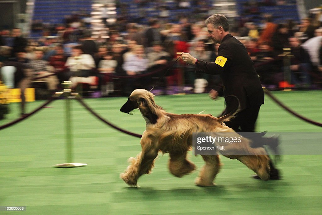 An Afghan runs in the ring at the at the Westminster Kennel Club Dog Show on February 16 2015 in New York City The show which is in its 139th year...
