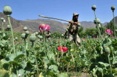An Afghan security force member destroys an illegal poppy crop in the Noor Gal district of eastern Kunar province on April 29 2014 Citing the United...