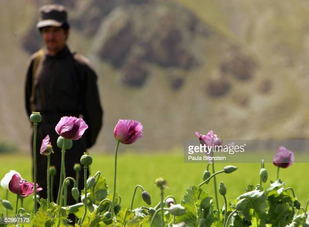 An Afghan security guard stands near by a poppy field May 29 2005 in Panshar in the Badakhshan district in the northeast of Afghanistan 10 kg of...