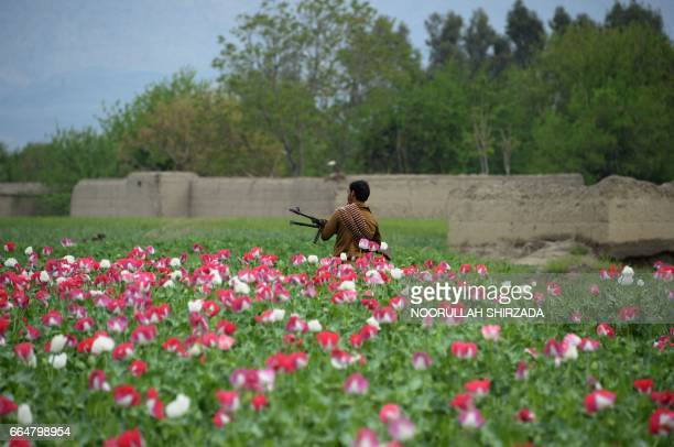 TOPSHOT An Afghan security personnel stands guard as others destroy an illegal poppy crop in the Surkh Rod district of eastern Nangarhar province on...