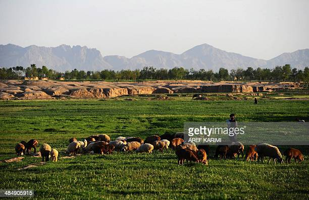 An Afghan shepherd watches over his sheep as they graze on ground on the outskirts of Herat on April 14 2014 The Afghan economy has always been based...