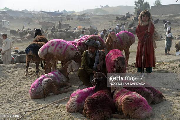 TOPSHOT An Afghan vendor waits for customers at a cattle market set up for the upcoming Muslim holiday of Eid alAdhaon the outskirts of Jalalabad on...