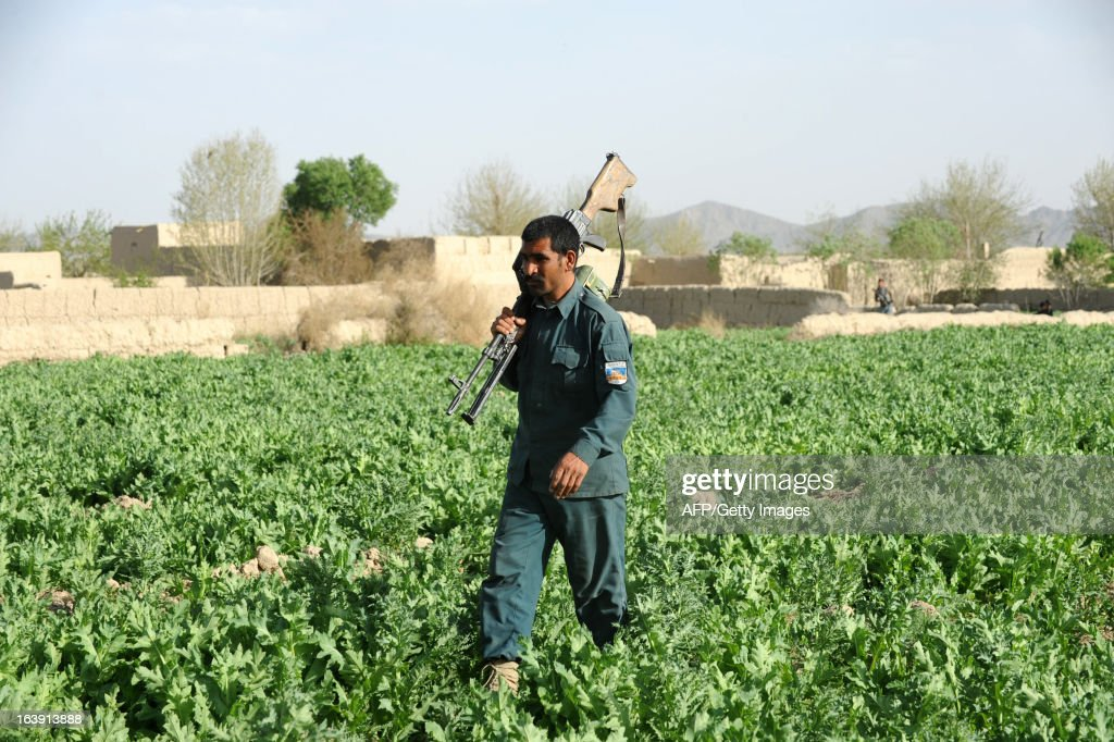 An Afghanistan policeman walks through a poppy field during an eradication programme in the Panjwai district of Kandahar province on March 17, 2013. Poppy cultivation is expected to increase in both eastern and western provinces of the country, though will remain at a much lower level of cultivation as compared to Helmand and Kandahar provinces, the United Nations office on Drugs and Crimes (UNODC) said in its 2012 report. AFP PHOTO/Jangir