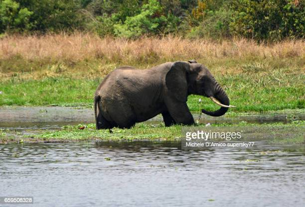 An African bush elephant (Loxodonta africana) drinking in the Nile River.