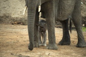 An African elephant and her baby are pictured on November 17 2012 in Hwange National Park in Zimbabwe AFP PHOTO MARTIN BUREAU