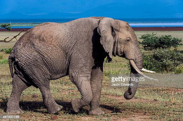 An African Elephant crossing a wide plain on the shore of a soda lake.