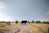 An African elephant is pictured on November 17 2012 at Hwange National Park in Zimbabwe AFP PHOTO MARTIN BUREAU