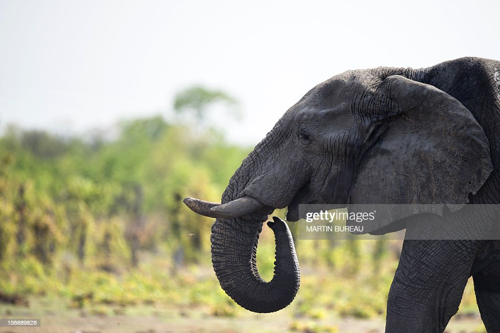 An African elephant is pictured on November 18 2012 in Hwange National Park in Zimbabwe AFP PHOTO MARTIN BUREAU
