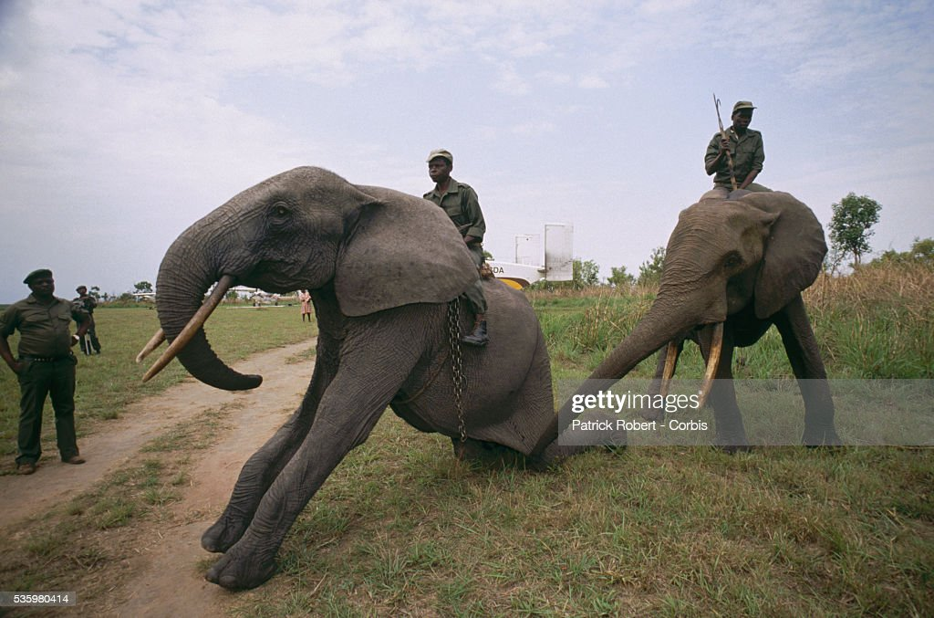 An African elephant kneels at its trainers' command in Virunga National Park. These elephants are part of a training experiment in the park.