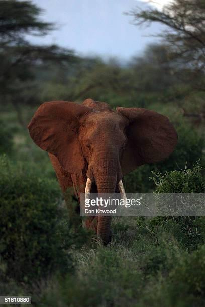 An African Elephant stands in shrubland on Dec 05 2007 in the Samburu Reserve Kenya