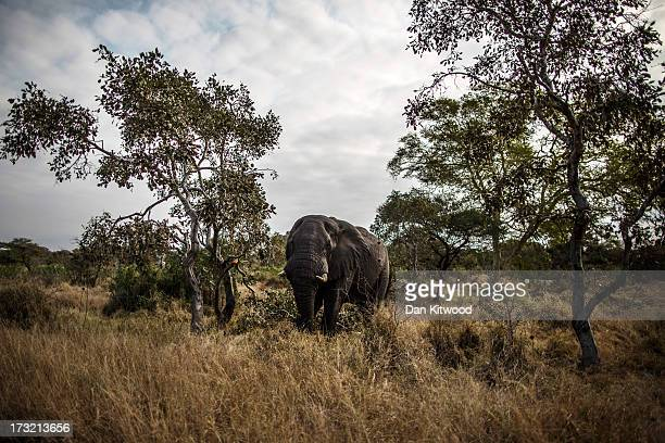 An African Elephant walks through the bush in Kruger National Park on July 8 2013 in Lower Sabie South Africa The Kruger National Park was...